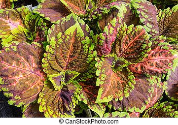 Colorful Coleus plant leaves