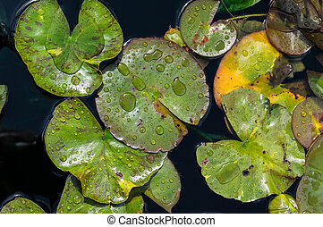 Water lily pads with water drops in a water garden