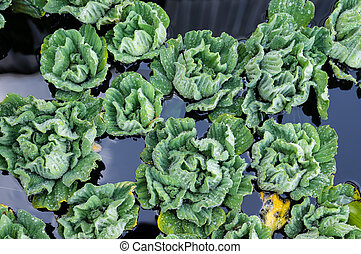 Water Lettuce plants floating on a pond - Water Lettuce...