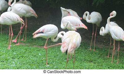 pink flamingo walking grass