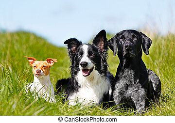 Three dogs - Purebred dog outdoors on a sunny summer day.
