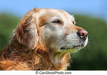 Golden retriever dog - Purebred Golden Retriever dog...