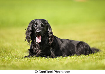 Purebred flat-coated retriever dog - Purebred black...