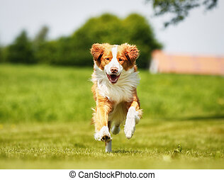 Nova Scotia Duck Tolling Retriever dog - Purebred brown and...