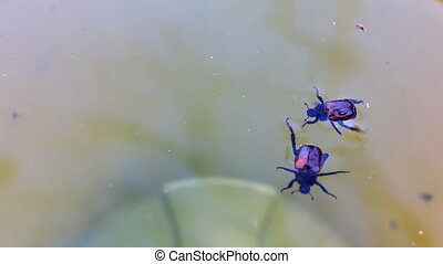 Two bugs fight in the water