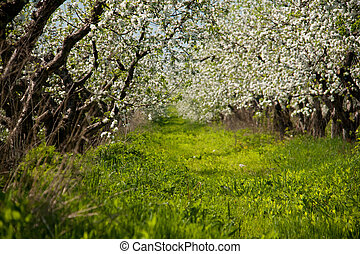Blossom apple-trees garden at the spring. Sunny day