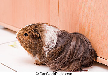 guinea pig - long haired guinea pig sitting on a floor