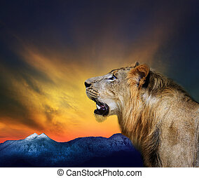 side view close up head shot of young lion roar against...