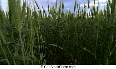 Dolly: Wheat field and blue sky with white clouds agriculture scene