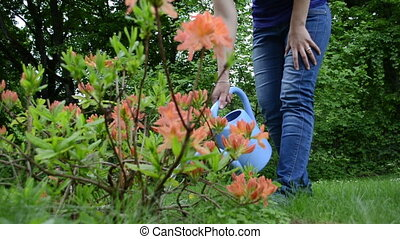 woman rhododendron water - watering orange rhododendron...