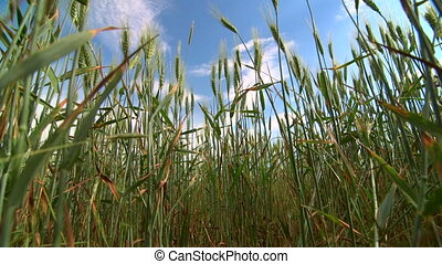 Dolly: Blue sky through green wheat stalks low-angle shot