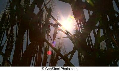 Dolly: Sun shining through wheat stalks close-up - Sun...