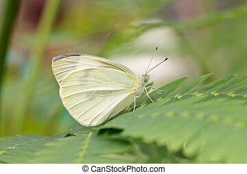 Btterfly garden-white (Pieris brassicae) on a leaf