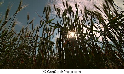 Dolly: Sun rays shining through growing wheat
