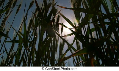 Sun rays shining through growing wheat stalks low-angle shot