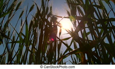 Dolly: Blue sky and sun rays through green wheat stalks low-angle shot