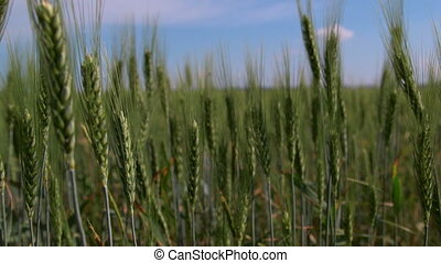 Dolly: Green wheat stalks in the field close-up