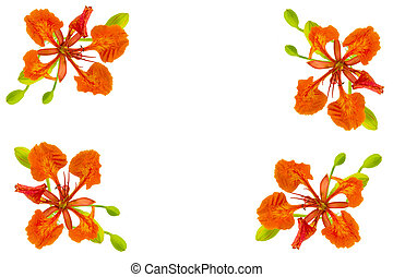 frame of flam boyant, pride of barbados or peacock flower on...