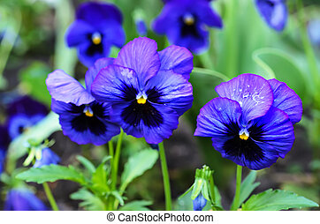 Violet pansy - Violet beautiful pansy flowering in spring...