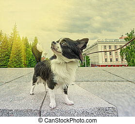 chihuahua walking - dog in the city background, walking with...