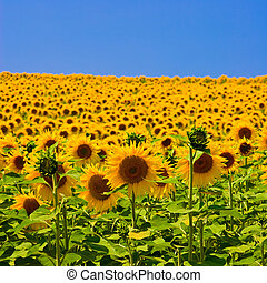 Sunflower Field - Sunflower field with bright blue sky