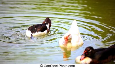 b & w ducks swimming in pond. change of focus from one to...