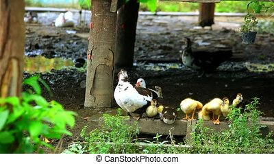 Duck and ducklings wash their wings near the pond Video...