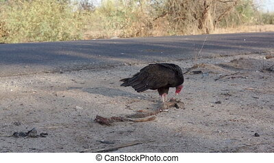 Vultures Picking Carcass Close 1 - Single vulture being...