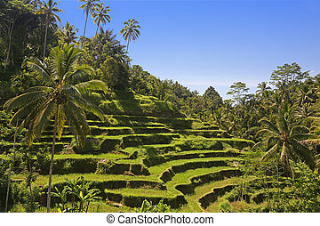 Terraced ricefield on Bali, Indonesia