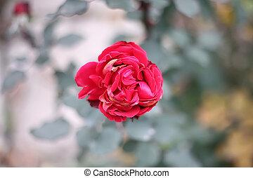 Flowering of pink rose