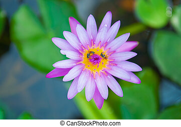 Purple waterlily flower and bee