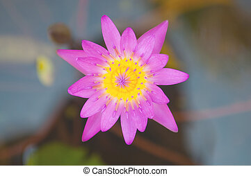 Pink waterlily flower and bee