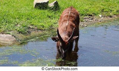 Antelope Sitatunga eats water algae in the small lake
