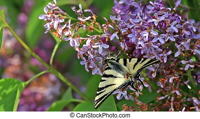 Beautiful swallowtail Papilio machaon butterfly