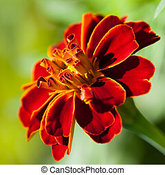 French marigold (Tagetes patula) in the summer garden