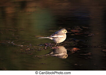 White Wagtail Motacilla alba lugens in Japan