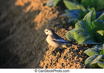 White Wagtail (Motacilla alba lugens) in Japan