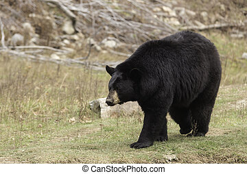 Large Black Bear