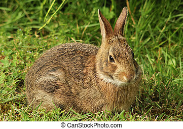 Wild Rabbit - Bunny in the Grass
