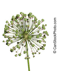 Withered inflorescence wild garlic isolated on white...