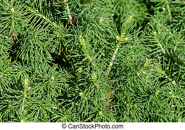 close up of pine branch with dew drops