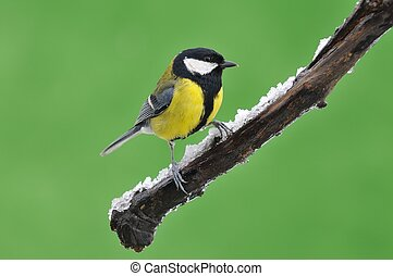 Great tit in the winter - Great tit, Parus major in the...