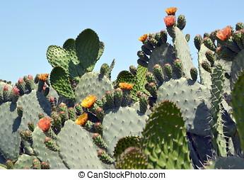 Flowers of cactus Opuntia
