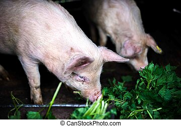 two farm piglets eating grass in the countryside