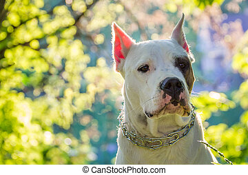 Dog on a beautiful background - Dogo argentino on a...