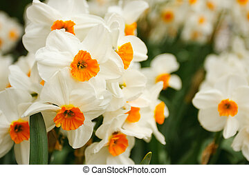 Bunch of narcissuses - Fresh bunch of narcissuses Macrophoto...