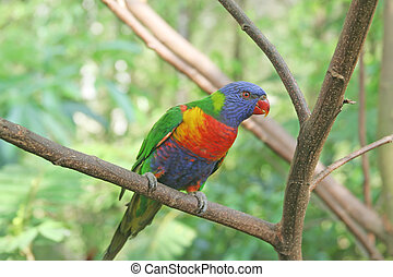 lory - colourful lory resting on a tree branch