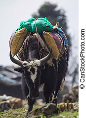 yak - Yak is animals for carry in mountain snow