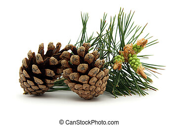 Pine cones with confier leaf on background