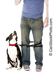 Staffordshire Bull Terrier on lead wrapped around owner's...